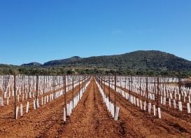 Manacor vineyards phase 3