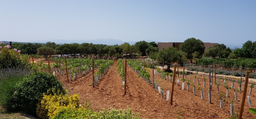 Manacor vineyards phase 2